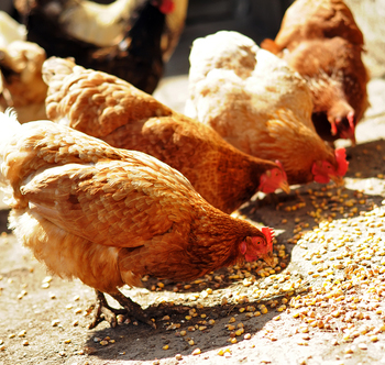 Chickens Eating Enzyme Enhanced Food