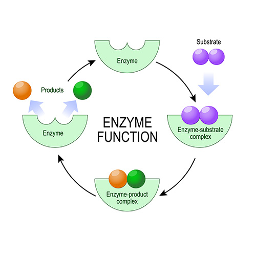 enzyme function circular diagram